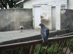 鳩も梅子を偲ぶ